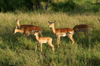 Africa - Tanzania - Antelopes in Serengeti National Park - photo by A.Ferrari