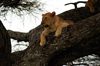 Africa - Tanzania - Lion in a tree, Serengeti National Park - photo by A.Ferrari