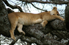 Africa - Tanzania - Lion sleeping in a tree, Serengeti National Park - photo by A.Ferrari