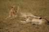 Africa - Tanzania - Young lions in Serengeti National Park - photo by A.Ferrari