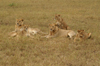 Africa - Tanzania - A group of young lions in Serengeti National Park - photo by A.Ferrari