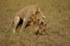Africa - Tanzania - Young lions discovering the secrets of life, Serengeti National Park - photo by A.Ferrari