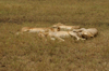 Africa - Tanzania - Lazy lions, Serengeti National Park - photo by A.Ferrari