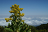 41 Tanzania - Kilimanjaro NP: Marangu Route - day 2 - a colourful flower in the moorlands - photo by A.Ferrari