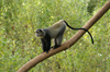 Africa - Tanzania - Blue Monkey or Diademed Monkey, Cercopithecus mitis - in Lake Manyara National Park - photo by A.Ferrari