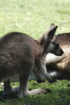 Tasmania - Australia - Tasmania - A joey plays near its mother (photo by Fiona Hoskin)
