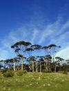 Australia - Tasmania - Maria Island: trees (photo by  M.Samper)