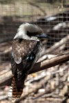 Tasmania - Australia - Tasmania - Laughing Kookaburra in captivity - Dacelo novaeguineae (photo by Fiona Hoskin)