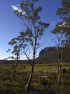 Tasmania - Cradle Mountain - Lake St Clair National Park: Overland Track - trees (photo by M.Samper)