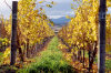 Australia - Tasmania - Cambridge: vineyards at Meadowbank Estate, Derwent Valley, Clarence municipality - photo by S.Lovegrove