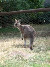 Tasmania - Australia - North Eastern Tasmania - Trowunna Wildlife Park: Wallaby (photo by Fiona Hoskin)