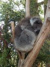 Tasmania - Australia - North Eastern Tasmania - Trowunna Wildlife Park: Koala sleeping in a gum tree (photo by Fiona Hoskin)