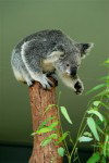 Tasmania - Australia - Koala (photo by Fiona Hoskin)