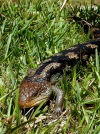 Tasmania - Mount William NP: lizard (photo by Luca dal Bo)