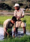 East Timor - Manatuto: Rice planting (photo by M.Sturges)