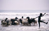 Togo - Animals in the surf - washing the flock of sheep - photo by Joe Filshie