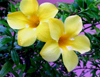 Trinidad - Port of Spain: yellow flowers - photo by P.Baldwin