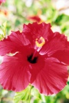Tunisia - Jerba Island - Ras Taguermes: red flower - Hibiscus (photo by M.Torres)
