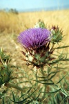 Tunisia / Tunisia / Tunisien -Borj Es Segui: cardoon in bloom - Cynara cardunculus (photo by M.Torres)