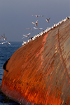 Istanbul, Turkey: seagulls on rusting wreck - hull of capsized vessel - sea of Marmara - photo by J.Wreford
