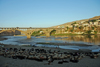 Hasankeyf / Heskif, Batman Province, Southeastern Anatolia, Turkey: sheep and the new Tigris bridge - deck arch bridge - concrete span - civil engineering- photo by W.Allgöwer