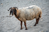 Hasankeyf / Heskif, Batman Province, Southeastern Anatolia, Turkey: a ram on the beach along the Tigris river - photo by W.Allgöwer