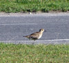 Fongafale island, Funafuti atoll, Tuvalu: bird on the road - Funafuti International Airport - photo by G.Frysinger