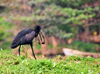 Jinja, Uganda: African openbill carries a fruit (Anastomus lamelligerus) - source of the Nile river - photo by M.Torres