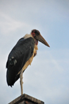 Entebbe, Wakiso District, Uganda: Marabou Stork on a roof-top, aka undertaker bird (Leptoptilos crumeniferus) - photo by M.Torres