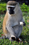 Entebbe, Wakiso District, Uganda: Vervet monkey eating (Chlorocebus pygerythrus) - photo by M.Torres