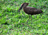 Entebbe, Wakiso District, Uganda: Hamerkop (Scopus umbretta) carrying a stick - photo by M.Torres
