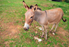 Entebbe, Wakiso District, Uganda: donkey staring - Equus africanus asinus- photo by M.Torres