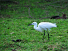 Entebbe, Wakiso District, Uganda: Little egret (Egretta garzetta) foraging for food - photo by M.Torres