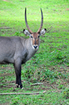 Entebbe, Wakiso District, Uganda: male waterbuck staring - large horned antelope (Kobus ellipsiprymnus) - photo by M.Torres