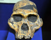 Kampala, Uganda: skull - 'Mrs Ples', Australopithecus Africanus from Sterkfontein Cave, Transvaal, South Africa - photo by M.Torres