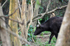 Entebbe, Wakiso District, Uganda: African buffalo aka Cape buffalo amid the trees (Syncerus caffer) - photo by M.Torres