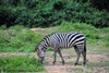 Entebbe, Wakiso District, Uganda: plains zebra (Equus quagga, formerly Equus burchellii), aka common zebra or Burchell's zebra - photo by M.Torres