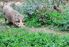 Entebbe, Wakiso District, Uganda: common warthog (Phacochoerus africanus) - photo by M.Torres