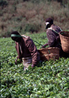 Uganda - Fort Portal, Kabarole district - workers at a tea plantation - photos of Africa by F.Rigaud