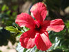 Uruguay - Colonia del Sacramento - Flower - red Hibiscus - photo by M.Bergsma