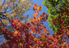 Maine, USA: New England trees with autumn colors - Atlantic Coast - photo by C.Lovell