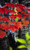 Michigan, USA: tree leaves - fall colors in deciduous forest - photo by C.Lovell