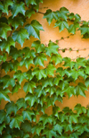 Boston, Massachusetts, USA: ivy grows on an orange wall - photo by C.Lovell