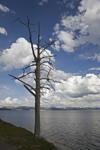 Yellowstone National Park, Wyoming, USA: cumulus clouds form above Yellowstone Lake - dead tree - photo by C.Lovell
