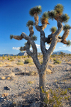Death Valley National Park, California, USA: Joshua tree / Yucca palm, Yucca brevifolia - Mojave desert landscape - photo by M.Torres