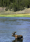 Yellowstone National Park, Wyoming, USA: bull Moose in the water - photo by C.Lovell