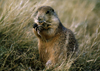 Devil's Tower, Wyoming, USA: Black-tailed Prairie Dog eating - Cynomys ludovicianus - photo by C.Lovell