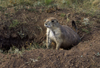 Devil's Tower, Wyoming, USA: Black-tailed Prairie Dog in hole - Cynomys ludovicianus - photo by C.Lovell