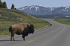 Yellowstone National Park, Wyoming, USA: stopping for wildlife can be a necessity where bull Bison have the right of way - road scene - photo by C.Lovell