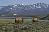 Yellowstone National Park, Wyoming, USA: bison cows with their spring calves walk along the banks of the Fairy River looking for good pasture - photo by C.Lovell